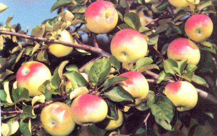 яблоня имрус описание сорта
