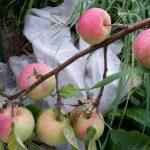 имрус сорт яблок отзывы