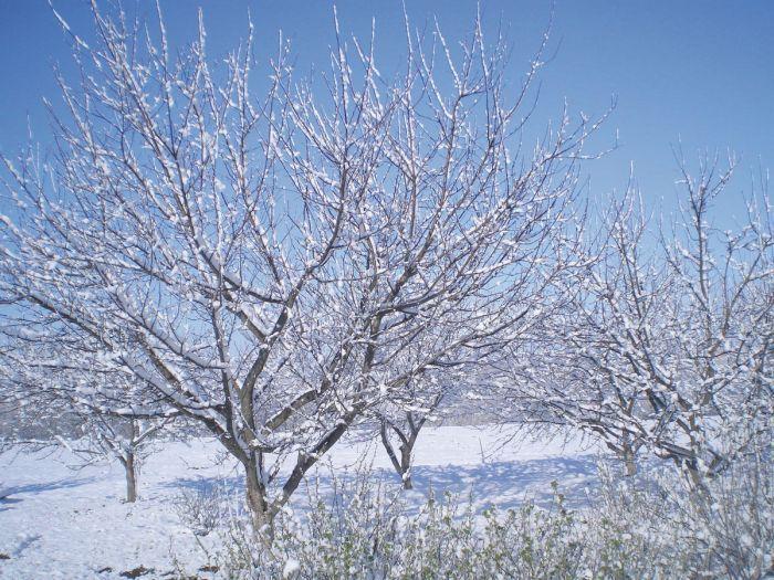зимнестойкая яблоня