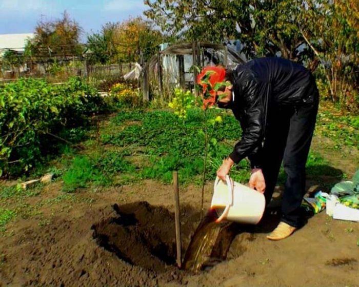 как посадить яблоню подарок графскому