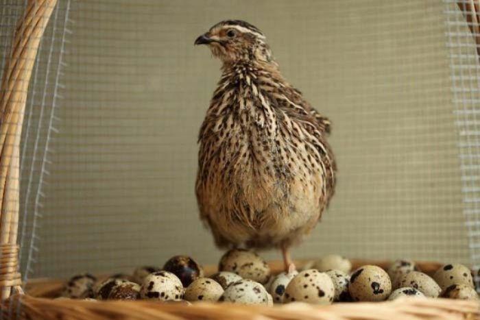перепелки для яиц