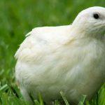 какая порода перепелов самая яйценоская
