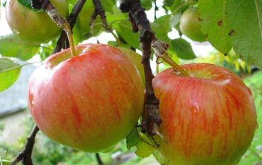 яблоня болотовское описание сорта фото отзывы