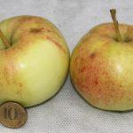 яблоня болотовское плоды