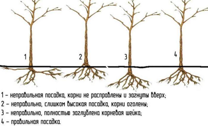 яблоня болотовское описание