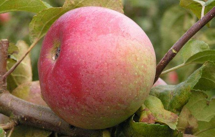 яблоня болотовское описание фото отзывы в подмосковье