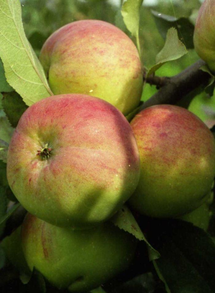 яблоня болотовское описание сорта фото отзывы садоводов