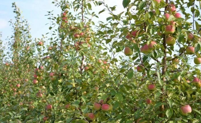 яблоня болотовская яблоня болотовская описание сорта