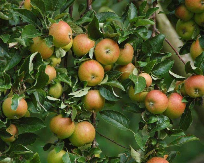 яблоня болотовское описание фото отзывы