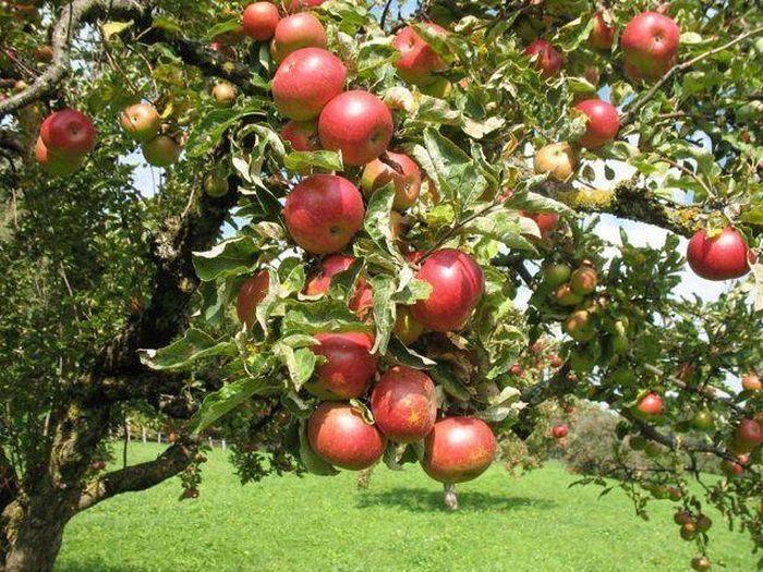 яблоня болотовское дерево