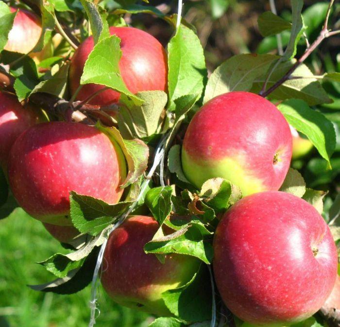 яблони уэлси