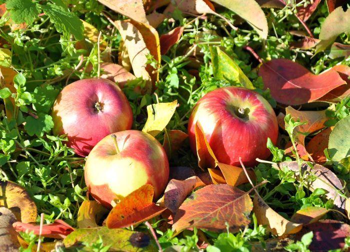 сорт яблони уэлси фото и описание