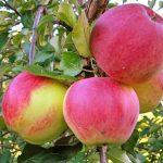 уэлси яблоки