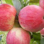 уэлси сорт яблок плоды