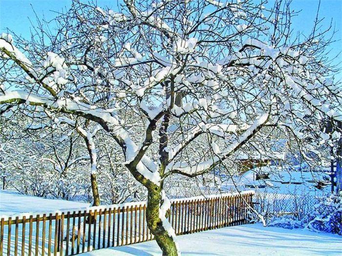 зимнестойкие яблони