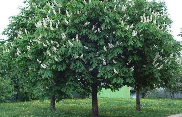каштан дерево как выглядит