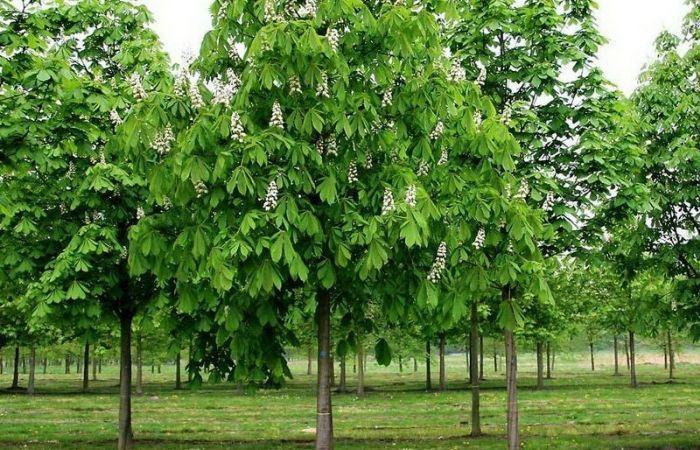 каштан дерево фото