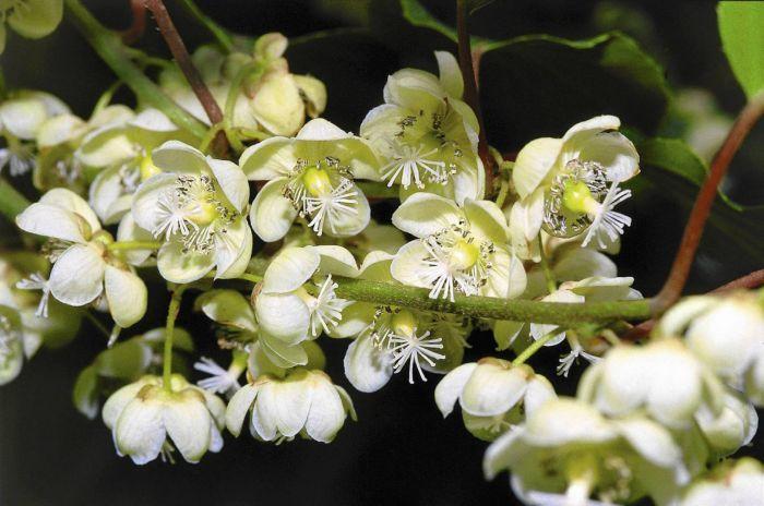 цветы актинидии мелкие