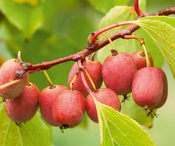 зрелые плоды актинидии