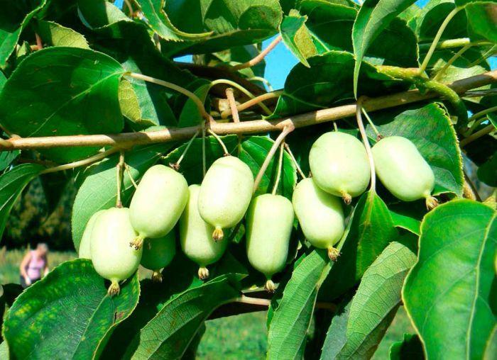 сорта актинидии фото плодов
