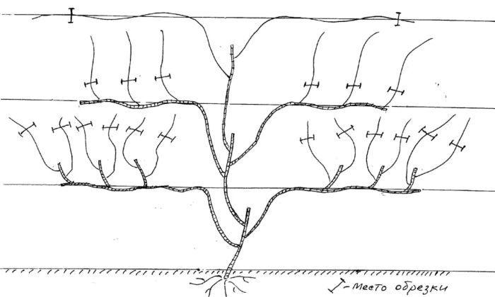 актинидия схема обрезки