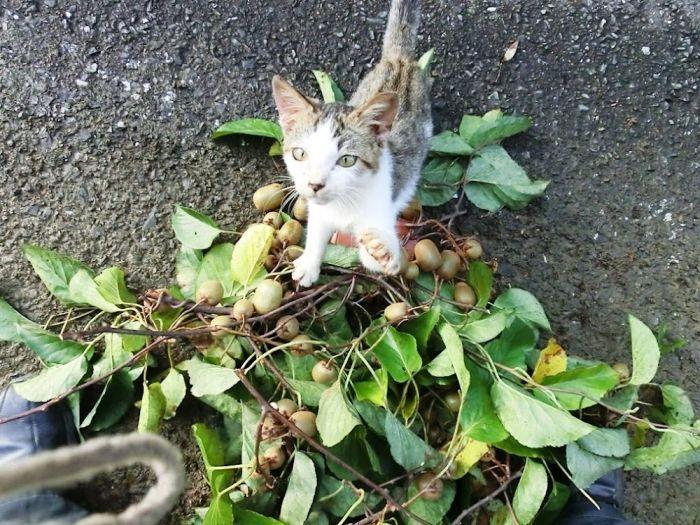 кошки охотятся за соком актинидии