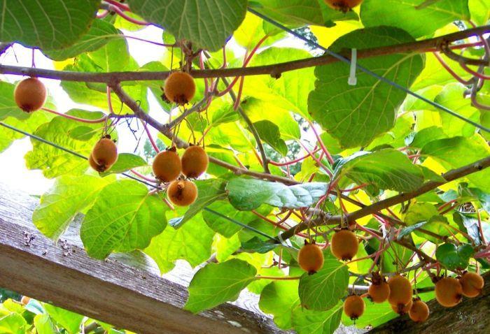 актинидия растение фото