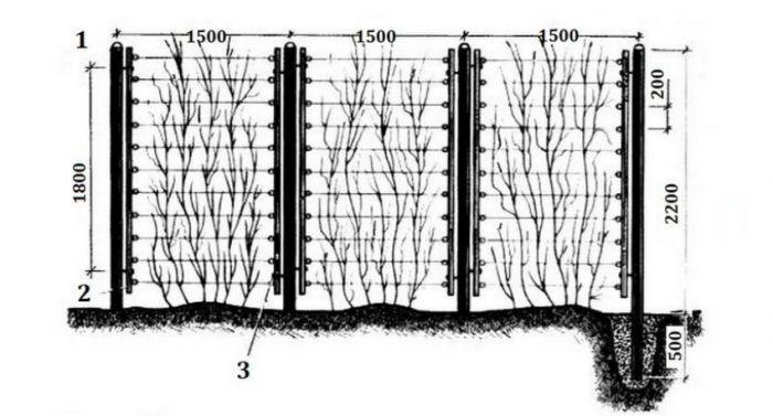 актинидия схема опоры