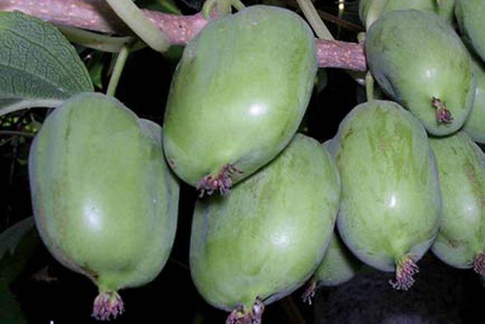 актинидия крупноплодная фото ягод