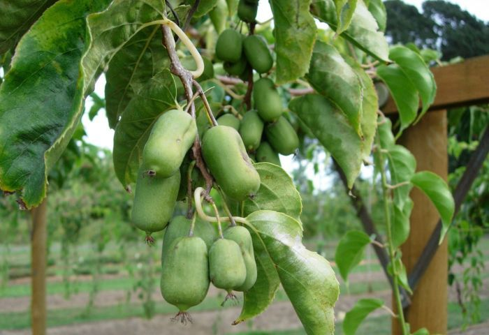 актинидия крупноплодная плоды