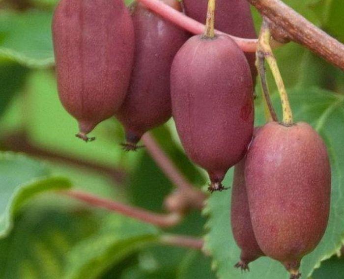 актинидия розовые плоды фото