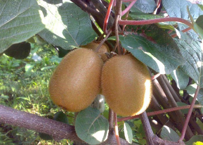 крупные спелые плоды актинидии