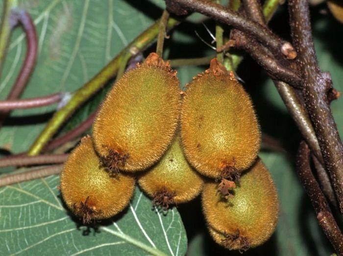 актинидия опушенные плоды