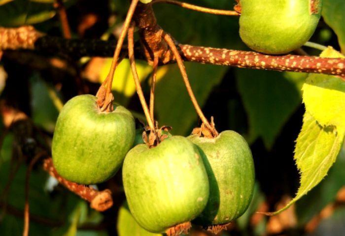 актинидия спелые плоды
