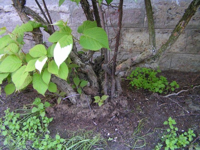 стебли актинидии фото
