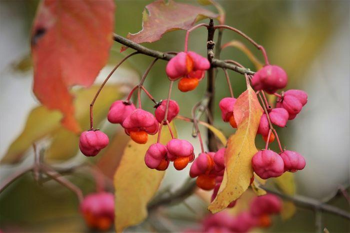 плоды бересклета маака