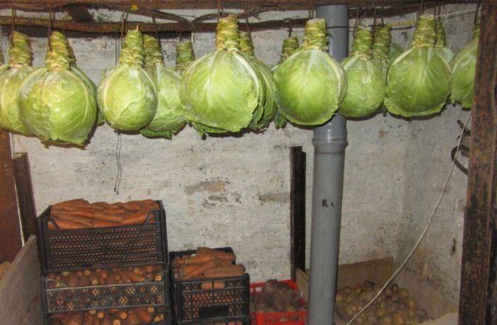 хранение капусты в домашнем подвале