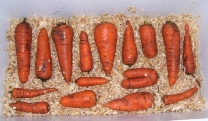 как хранить морковь в домашних условиях