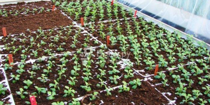 когда высаживать хризантемы в открытый грунт