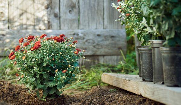 высадка хризантем в открытый грунт