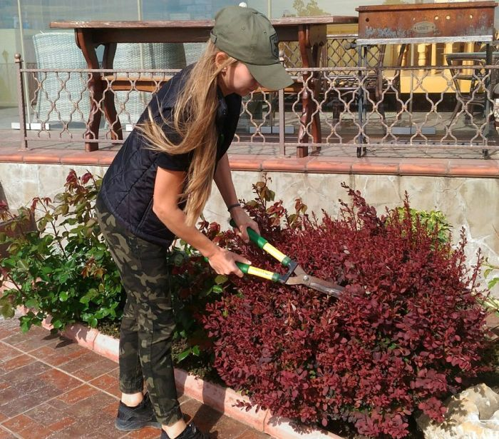 обрезка барбариса на изгороди