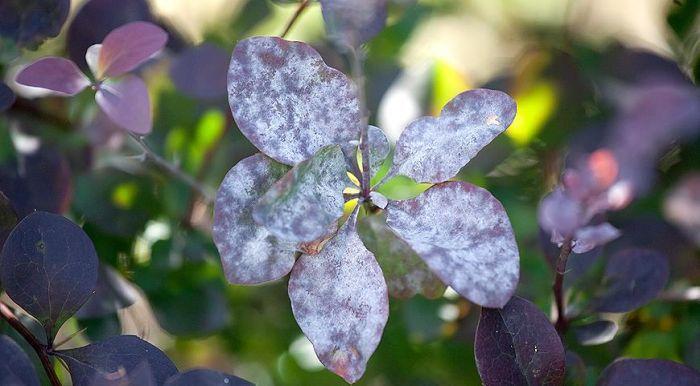кусты барбариса поражаются мучнистой росой
