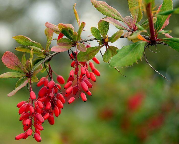 ягоды барбариса на ветке
