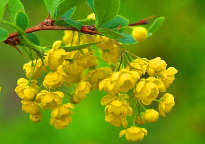 цветение барбариса весной