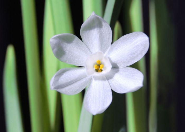 фото цветка белого нарцисса