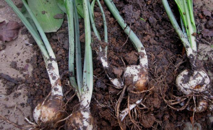 вырыть луковицы после цветения