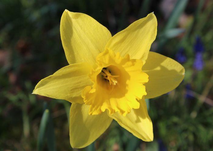 нарциссы желтого цвета
