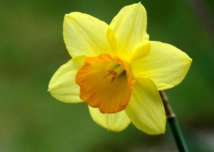 фото нарцисса желтого