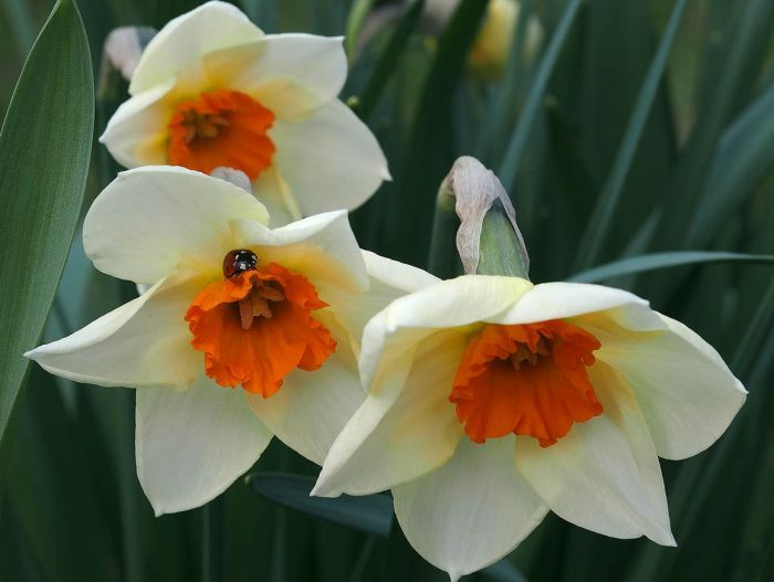 двуцветный цветок нарцисса