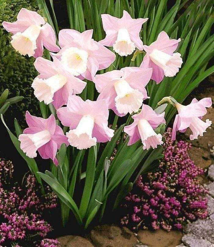 нежно-розовые нарциссы как цветут